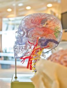 sculpture crânienne transparente avec des vaisseaux sanguins visibles